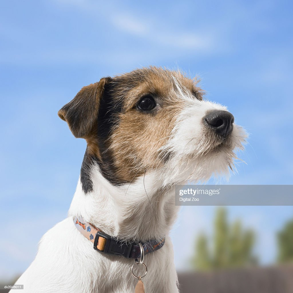 Jack Russell : Stock Photo