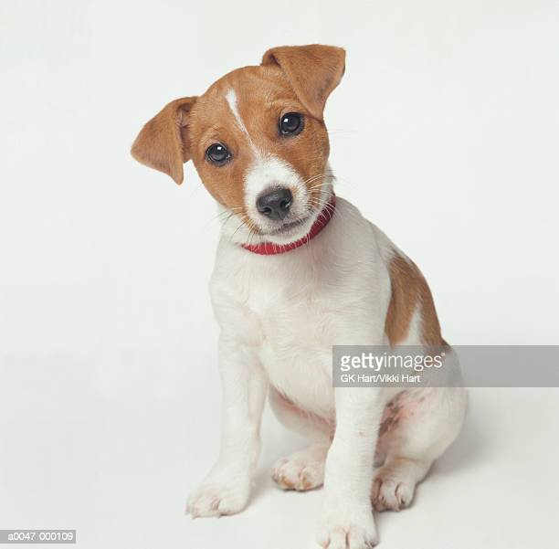 jack russell puppy - jack russell terrier photos et images de collection