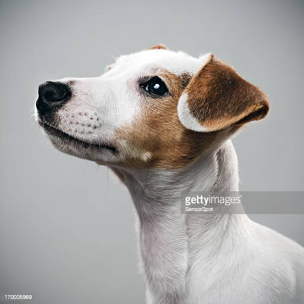 jack russell chiot portrait - jack russell terrier photos et images de collection