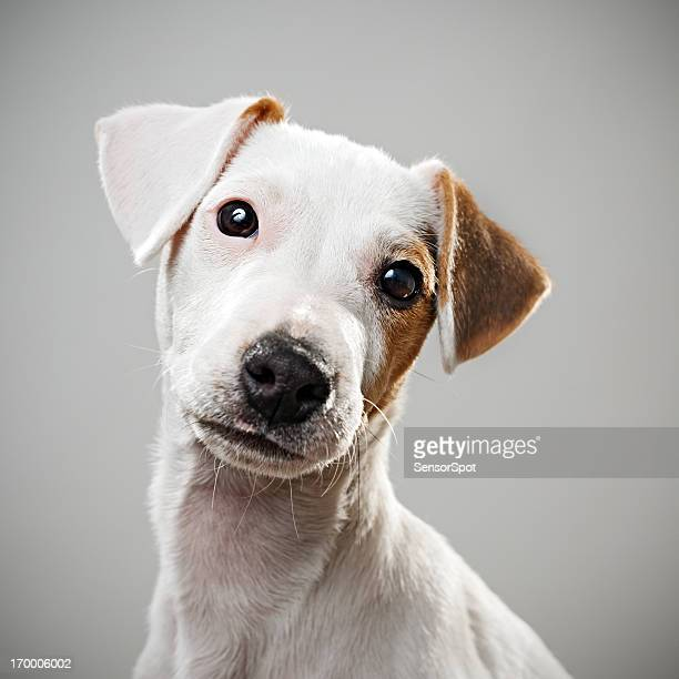 jack russell puppy portrait - jack russell terrier stock pictures, royalty-free photos & images