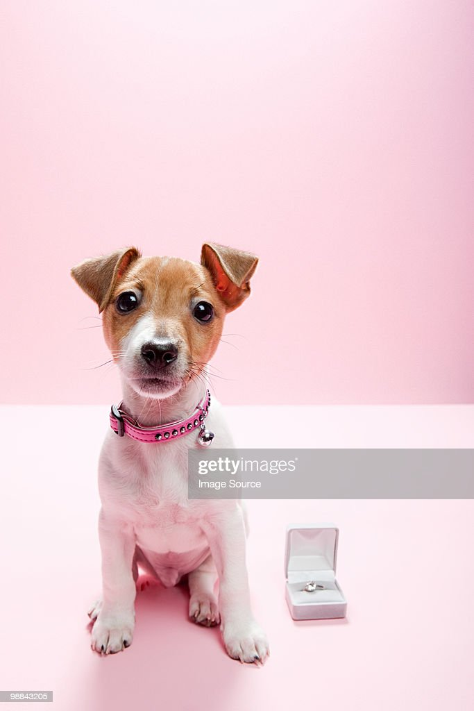 Jack russell puppy with engagement ring : Stock Photo