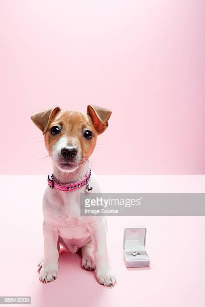 jack russell puppy with engagement ring - engagement ring box stock photos and pictures