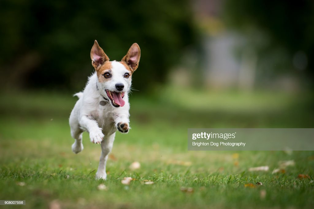 A Jack Russell running in a park : Stock-Foto