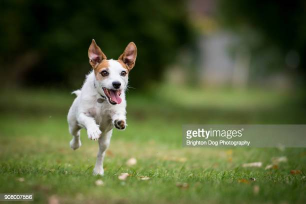 a jack russell running in a park - dog stock pictures, royalty-free photos & images