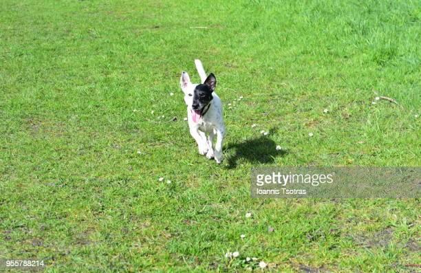 Jack Russell running on grass