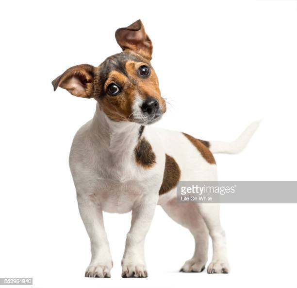 jack russell standing and bending head, isolated on white - jack russell terrier bildbanksfoton och bilder