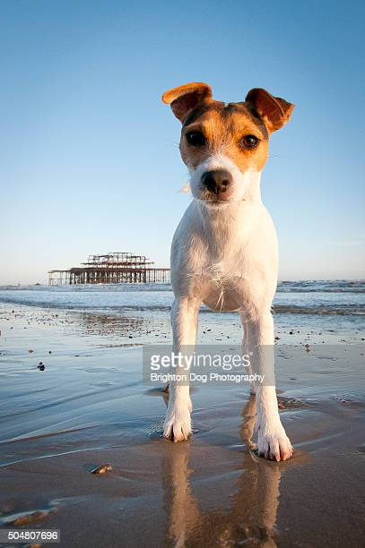 a jack russell standing in front of the west pier in brighton - jack russell terrier stock photos and pictures