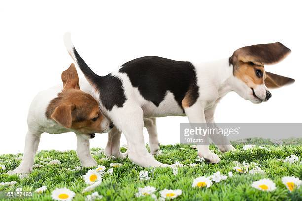 jack russell terrier and beagle