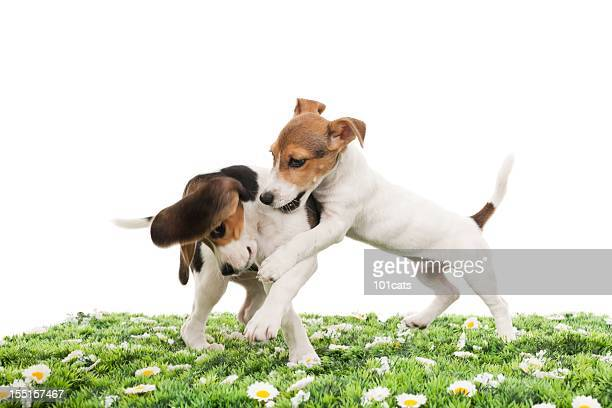 jack russell terrier and beagle - beagle stock pictures, royalty-free photos & images