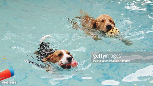 jack russell terrier and labrador swimming in pool - くわえる ストックフォトと画像