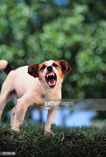 Jack Russell Terrier Bearing Its Teeth