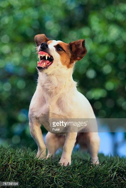 jack russell terrier bearing its teeth - jack russell terrier - fotografias e filmes do acervo