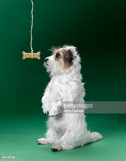 Jack Russell Terrier Begging for dog bone