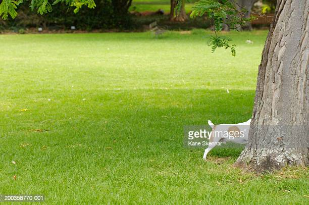 Jack russell terrier behind tree trunk