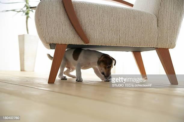 Jack Russell Terrier Below Armchair