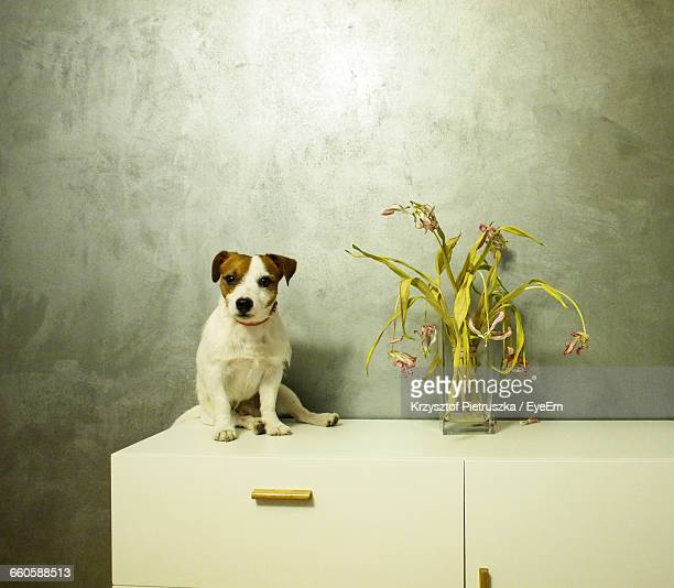 Jack Russell Terrier By Vase On Table Against Wall