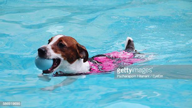 Jack Russell Terrier Carrying Ball In Mouth While Swimming In Pool