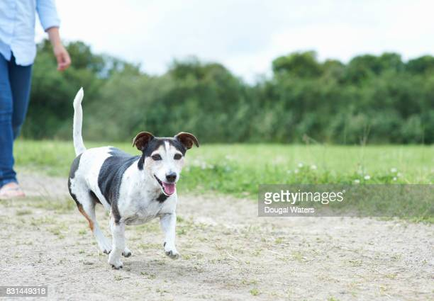 jack russell terrier dog and owner walking in countryside. - jack russell terrier stock photos and pictures