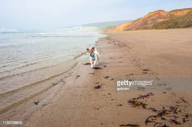 jack russell terrier dog at the beach in isle of wight, england - isle of wight stock photos and pictures