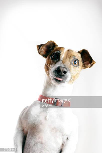Jack Russell Terrier chien mendier de tirer la langue