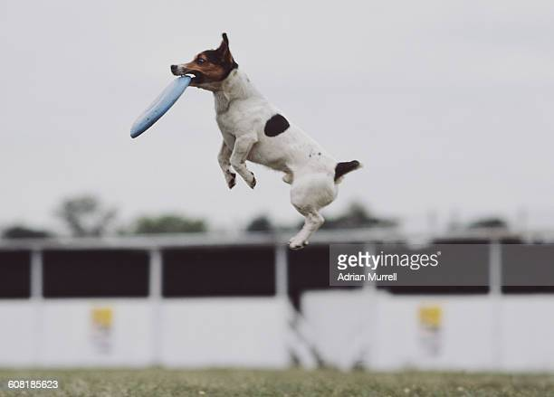 A Jack Russell terrier dog catches a frisbee in mid air on 1 August 1985 in London England