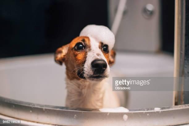 Perro de Jack russell terrier que se bañaba