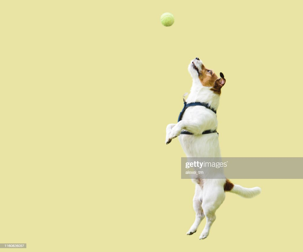 Jack Russell Terrier dog jumping straight up against yellow wall to catch tennis ball : Stock Photo