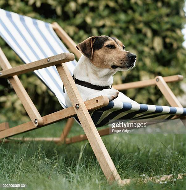 jack russell terrier dog lying in deck chair, low angle view - transat photos et images de collection