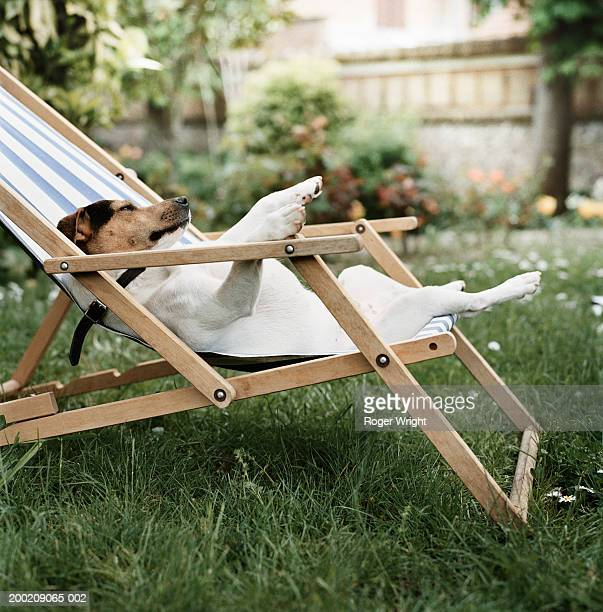 jack russell terrier dog lying on back in deck chair in garden - sunbathing stock pictures, royalty-free photos & images