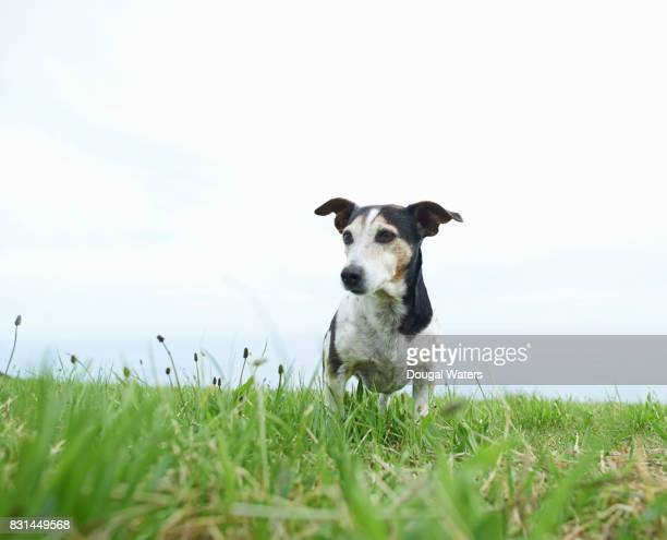 jack russell terrier dog outdoors in countryside. - jack russell terrier bildbanksfoton och bilder