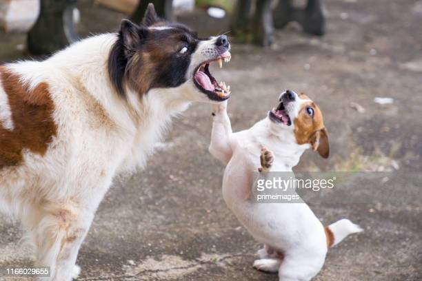 jack russell terrier dog playing with playful bangkaew dog in garden in house - aggression stock pictures, royalty-free photos & images