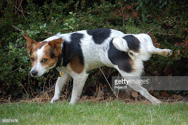 jack russell terrier dog urinating on bush - urinating stock pictures, royalty-free photos & images