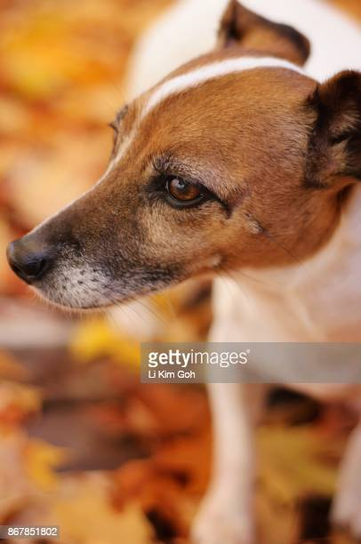 Jack Russell Terrier Dog with Autumn leaves
