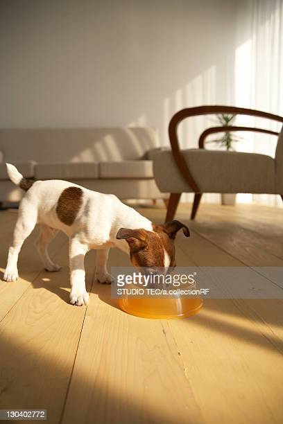 Jack Russell Terrier Eating