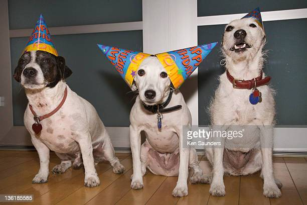 Jack Russell terrier having birthday party