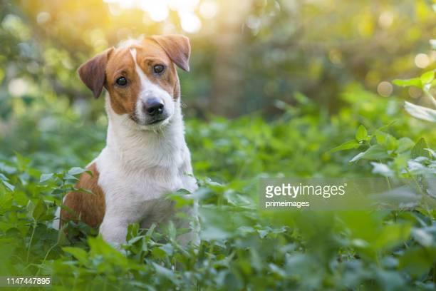 jack russell terrier house cute run sit grass yard - jack russell terrier foto e immagini stock