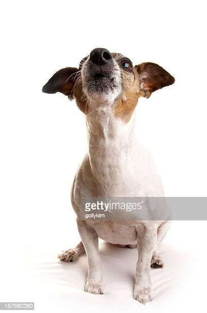 terrier jack russell hurlement - jack russell terrier photos et images de collection