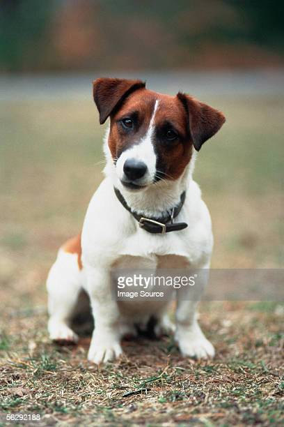 Jack Russell terrier in park