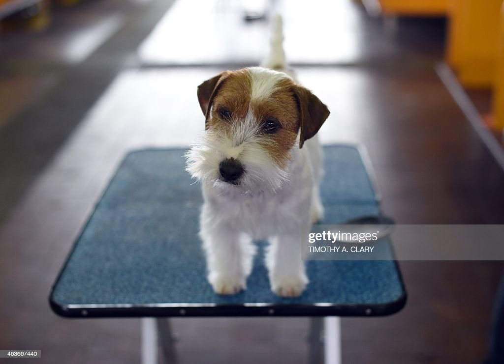 Jack Russell Terrier in the benching area at Pier 92 and 94 in New York City on the 2nd day of competition at the 139th Annual Westminster Kennel Club Dog Show February 17, 2015. The Westminster Kennel Club Dog Show is a two-day, all-breed benched show that takes place at both Pier 92 & 94 and at Madison Square Garden in New York City.