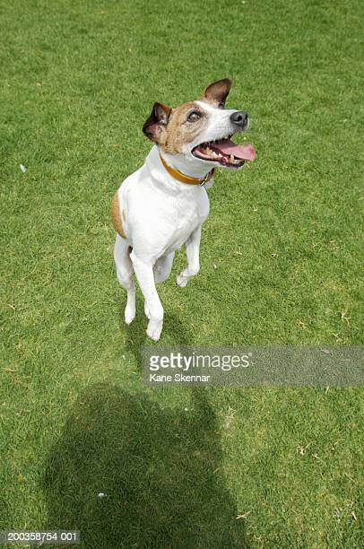 Jack russell terrier jumping, elevated view