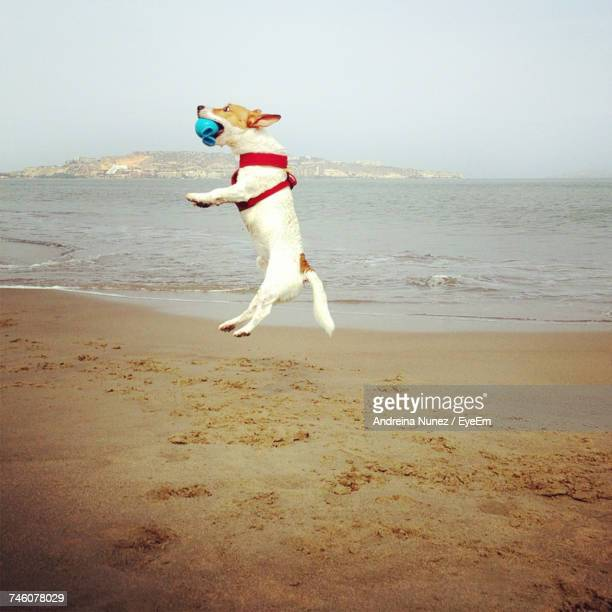 jack russell terrier jumping with ball at beach - jack russell terrier stock pictures, royalty-free photos & images