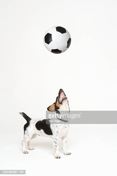 Jack Russell Terrier looking at bouncing soccer ball