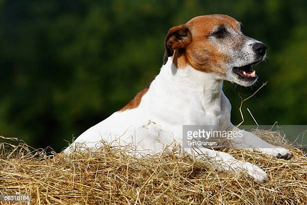 Jack Russell terrier lying on a bed of hay, England, United Kingdom.