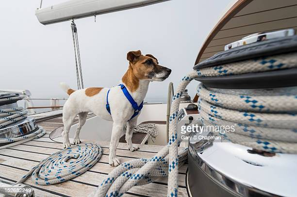 Jack Russell Terrier on deck of 62 ft sailboat