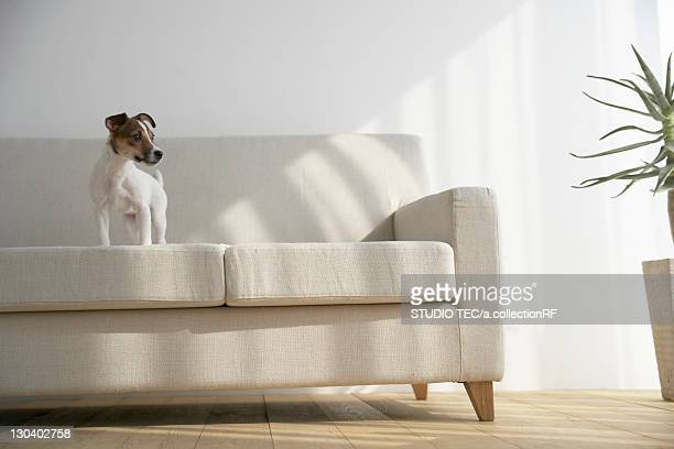 jack russell terrier on sofa - jack russell terrier photos et images de collection
