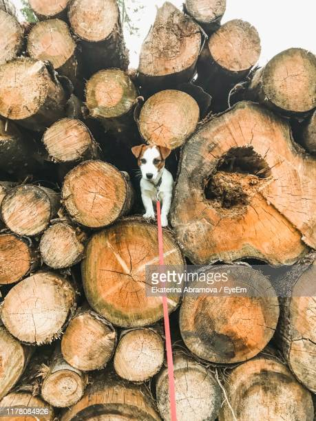 jack russell terrier on stack of firewood - jack russell terrier foto e immagini stock