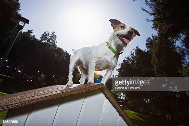Jack Russell Terrier on top of doghouse