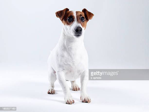 jack russell terrier (click for more) - jack russell terrier stock photos and pictures