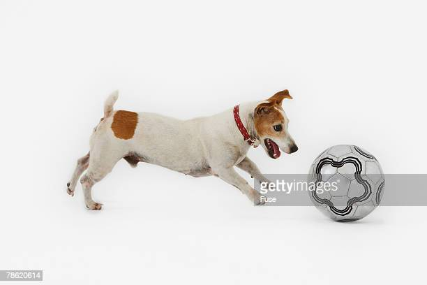 Jack Russell Terrier Playing with Soccer Ball