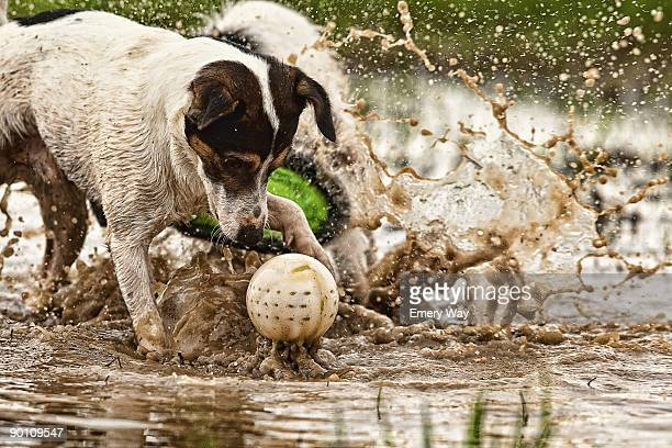jack russell terrier plays ball - jack russell terrier foto e immagini stock